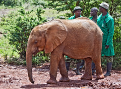 David Sheldrick Elephant Orphanage - Alamaya 5 (Grete Howard) Tags: safariinafrica safari whichsafaricompany bestsafaricompany calabashadventures travel holiday africa kenya elephants davidsheldrickwildlifetrust elephantorphanage wildelife animals nairobi