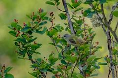 record shot of Tennessee Warbler (Oreothlypis peregrina) - Creston, BC (bcbirdergirl) Tags: male bc kootenays tennesseewarbler rare warbler creston selffound tewa passerine recordshot rarebird crestonvalley oreothlypisperegrina southernkootenays westcrestonbridge