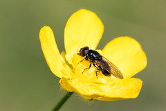 Cheilosia albitarsis / Gewoon Weidegitje (peter.lindenburg) Tags: hoverfly syrphidae vaals zweefvlieg cheilosiaalbitarsis gewoonweidegitje elzetterbos