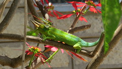 Jackson's Chameleon (Victorink Photography) Tags: reptile chameleon reptiles jacksons