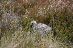 Gull common chick in deep undergrowth loch in dorb 20.6.2016 (1) (Margaret the Novice) Tags: gulls