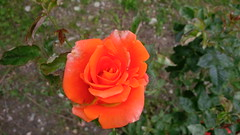 I colori della primavera (Luciana.Luciana) Tags: flowers primavera spring colours rosa fiori colori printemps arancione frhling