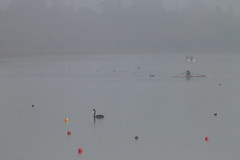 Swan and Fog (blachswan) Tags: fog australia victoria buoys ballarat lakewendouree