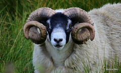Horny Ram 2 (mootzie) Tags: woolly ram tup croft ness lewis horns curly black faced handsome animal scotland