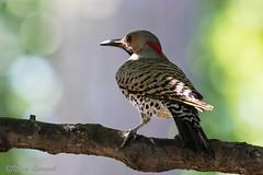 Flicker on Flickr (norasphotos4u) Tags: birds woodpecker flickr social canon7dmkii noraleonard canonef100400f4556iiusm
