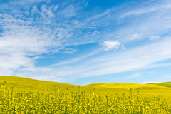 Palouse (Thomas Franta) Tags: flowers nature field clouds landscape us washington unitedstates sunny hills pullman bloom pnw rolling rapeseed palouse 70d eos70d ef1635f4isusm