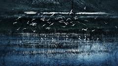 Rhapsody in Blue--HSS :) (amarilloladi) Tags: washington wildlife gulls swamp waterfowl wildliferefuge hss othellowa columbianationalwildliferefuge sliderssunday