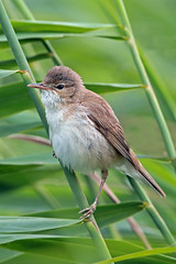 reed warbler (Explore) (DODO 1959) Tags: nature birds animal fauna canon outdoor wildlife avian migrant reedwarbler rspbhamwall 1dmk4 500mmf4isllens
