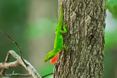 Chameleon 2016 03 (Jim Dollar) Tags: sc southcarolina chameleon zenglen indianland jimdollar canon6d scenesfrommyhammock