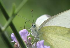 Schmetterling , Kohlweiling , NGID1281819987 (naturgucker.de) Tags: nauheim naturguckerde ngid1281819987 cbettinahrr