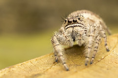 jumping spider (Nicolay_) Tags: macro macrophotography naturaleza canon wildlife colombia colors spider jumping