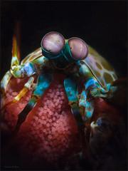 IMG_9709 (NonnaSP) Tags: animals bali diving macro mantisshrimp nature ocean odontodactylusscyllarus peacockmantisshrimp sea seraya snoot tulamben underwaterphotography water witheggs