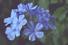 Plumbago (C-Smooth) Tags: plumbago flowers macro garden plant