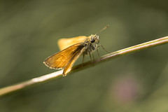 butterfly, butterfly (HHH Honey) Tags: sonya7rii salisburyplain wiltshire wildflowers grasses golden sigma sigma50mmdgmacro butterfly smallskipper insect 116picturesin2016 82illustrateanurseryrhyme 82 nurseryrhyme