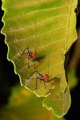 Katydid Nymphs (Conocephalus (?) sp., Tettigoniidae) (John Horstman (itchydogimages, SINOBUG)) Tags: china red 2 macro topf25 insect yunnan nymph katydid orthoptera tettigoniidae itchydogimages sinobug