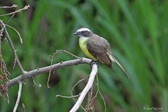 1.14788 Tyran sociable / Myiozetetes similis hesperis / Social Flycatcher (Laval Roy) Tags: mexique birds oiseaux aves lavalroy tyransociable myiozetetessimilishesperis socialflycatcher passeriformes tyrannids oaxaca