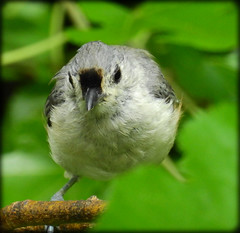 DSCN1346 (DianeBerky19) Tags: coolpixp900 birds backyard tuftedtitmouse