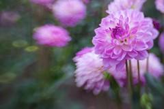 (juli_ei) Tags: dahlie flower blume blte blossom bokeh offenblende canon eos6d 6d lensbaby sweet35 sommer rosa