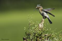 Merlebleu de l'Est - Eastern Bluebird (Vicky A.) Tags: merlebleu merlebleudelest oiseau bird easternbluebird bluebird