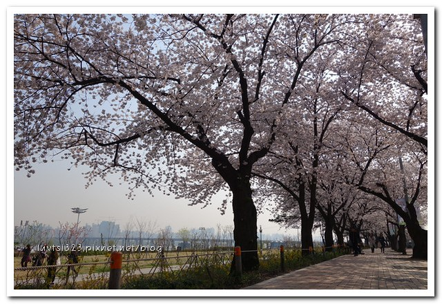 여의도벚꽃18
