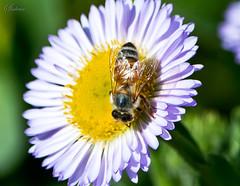 DSC_0116_5903a copy (shaikh.shahriar) Tags: flower bees violet