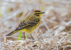 Palm Warbler (snooker2009) Tags: bird nature spring wildlife palm migration warbler