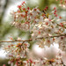 IMG_0857_859 国営昭和記念公園 豆桜 HDR