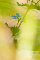 Dreamy Veronica (Danny_Little) Tags: flowers nature romania closeups meris mehedinti veronicachamaedris nikond90 sigma150mmf28exapomacrodghsm