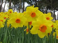 IMG_6088 (Gkmen Kmrt) Tags: tulips tulip 2014 emirgan laleler