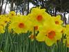 IMG_6088 (Gökmen Kımırtı) Tags: tulips tulip 2014 emirgan laleler