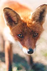 A Dutch Fox (Sab Vzr) Tags: park red wild nature netherlands animal spring wildlife dune den denhaag hague fox april haag thehague redfox hollande renard oostduinpark