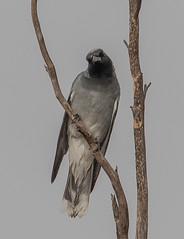 black-faced cuckooshrike (Coracina novaehollandiae)-7459 (rawshorty) Tags: birds australia canberra campbell act rawshorty