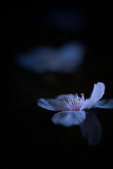 Fallen cherry blossoms (masadle) Tags: macro reflection water fallen cherryblossom sakura