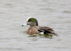 American Wigeon (Pattys-photos) Tags: idaho american wigeon marketlakewildlifemanagementarea