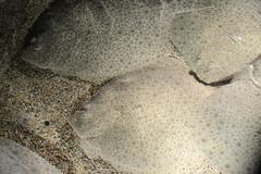 Steinbutte im Pairi Daiza (Ulli J.) Tags: zoo belgium belgique belgie belgi belgien turbot wallonie hainaut henegouwen walloni cambroncasteau steinbutt cambron wallonien tarbot brugelette pighvar pairidaiza