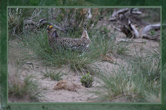 Sharpie (All Eyes Photography) Tags: grouse sharptail