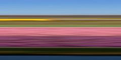 De NS raast door de bollenvelden (Harry -[ The Travel ]- Marmot) Tags: railroad flowers abstract flower holland art netherlands colors dutch lines horizontal rural train landscape spring colorful colours tulips ns stripes kunst nederland fields colourful agriculture lente bloemen hollands bollen trein highspeed intercity landschap tulpen kleurrijk lijnen strepen kleuren flowerbulbs bollenvelden nederlandsespoorwegen tulpenvelden hogesnelheidslijn landbouw bloembollen sneltrein bloemenzee bollenteelt ©allrightsreservedcontactmebyflickrmail