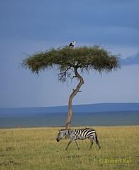 The lone tree! (Jambo53 (catching up)) Tags: secretarybird zebra burchell savannah tree boom kenya masaymara conservancy jambo53 robertkok nikond800 nikkor70300 wildlife safari estafrica oostafrika layers