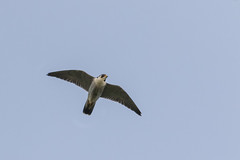 Overhead Visitor (Phal44) Tags: bird canon sussex 7d falcon mk2 peregrine millhill 200400 200400mm 7d2