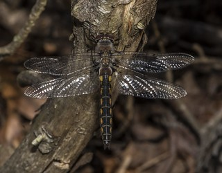 Female Robust Baskettail -- Top View