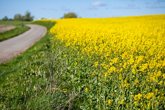 Yellow rapeseed (Hkan Dahlstrm) Tags: field yellow photography skne spring sweden farming agriculture raps rapeseed 2015