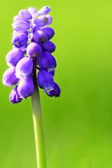 (LeWaggis) Tags: wild flower macro verde green nature fleur plante natur pflanze violet vert 7d bulbs bulbous grn blume muscari sauvage liliaceae bulbe bulbes asparagaceae traubenhyazinthen perlhyazinthen bauernbbchen