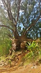 Roots (photawwgraphy) Tags: travel trees light vacation plants tourism nature hawaii oahu hiking roots naturallight tropicalplants nuuanupali windwardcoast