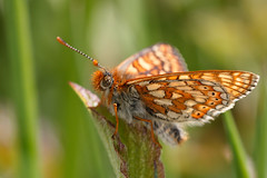 Marsh fritillary (Steve Balcombe) Tags: butterfly legs lepidoptera dorset brushes marsh cerneabbas fritillary euphydryas aurinia nymphalidae gianthill
