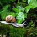 Burgundy Snail / Weinbergschnecke