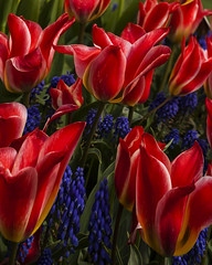 Flower Power (Bob McCuaig Photography) Tags: flowers contrast graphic tulips lsd tulipfestival canon5dmkii