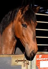 Lucius de Manolo (Laura_Photographie) Tags: horse cheval foal poulain jument