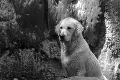 Interspecific mother's love (simona.photo) Tags: blackandwhite dogs goldenretriever nikon ste d7000 mysweetlucy