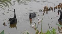 2016_04_11 441 - Black Swans (video) (Gwydion M. Williams) Tags: china chengdu swanlake sichuan blackswan pandas blackswans giantpandareserve