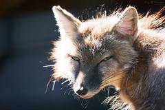 Head of a fox (Cloudtail the Snow Leopard) Tags: berlin animal mammal zoo fox tier fuchs sugetier vulpes corsac korsak steppenfuchs